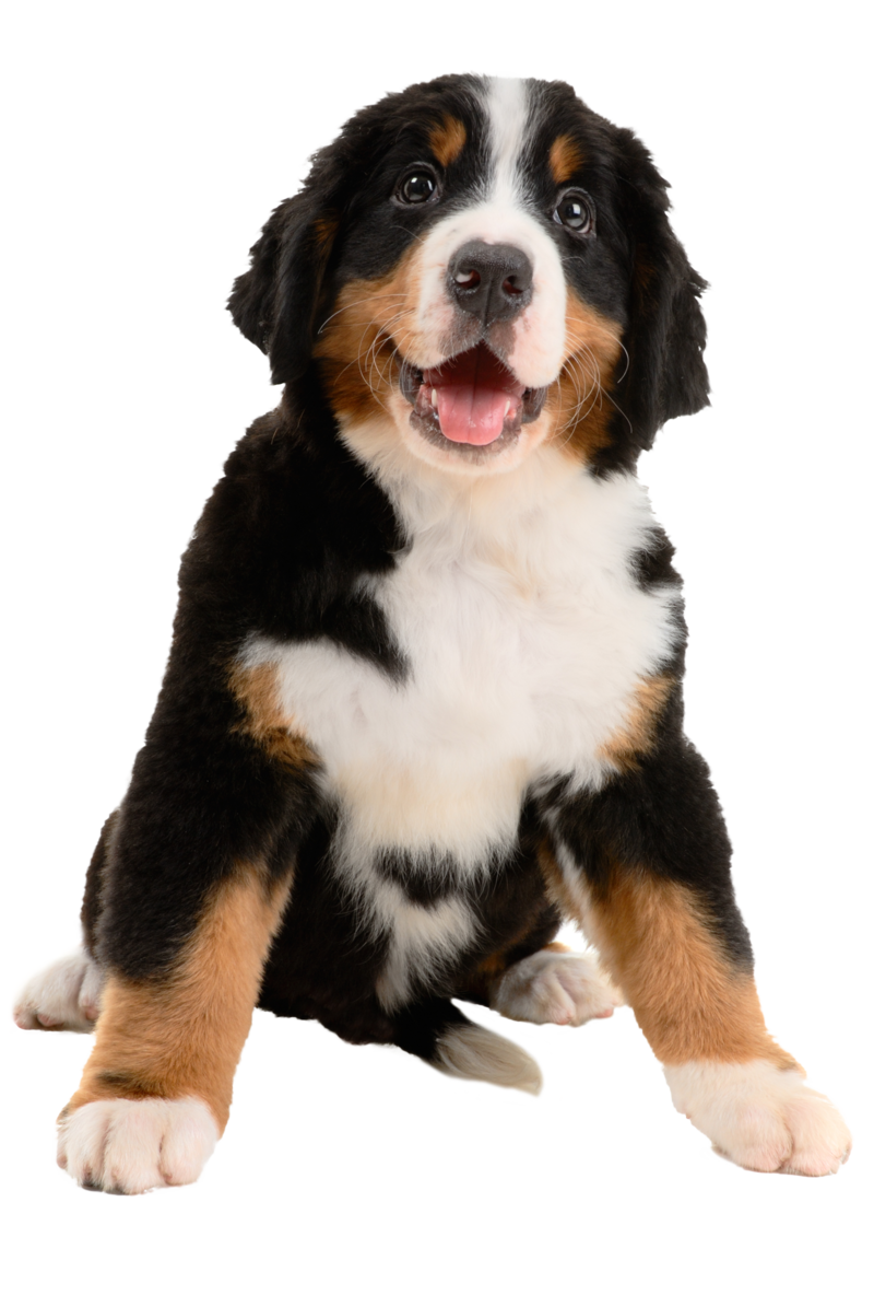 Bernese1_BarkysBiscuits