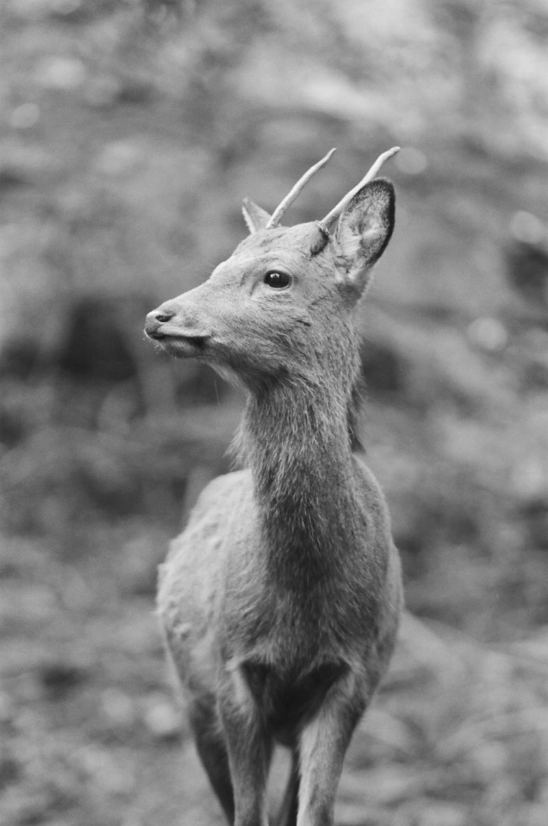 20-KTMerry-weddings-japan-native-deer