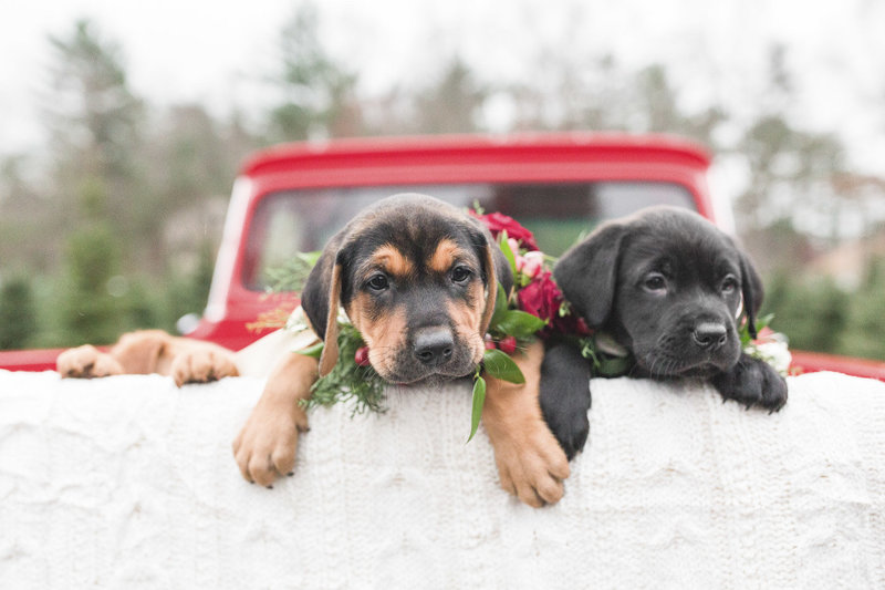 puppies in back of truck