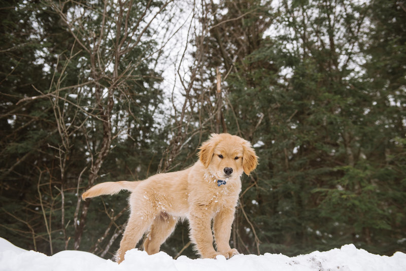 Mei Lin Barral Photography_Golden Retriever Puppy in the Snow-15