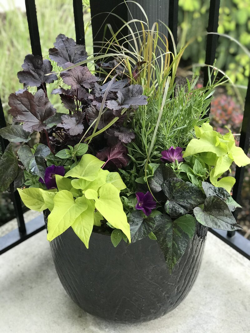Annual and perennial plants in lime and burgundy black ceramic pot