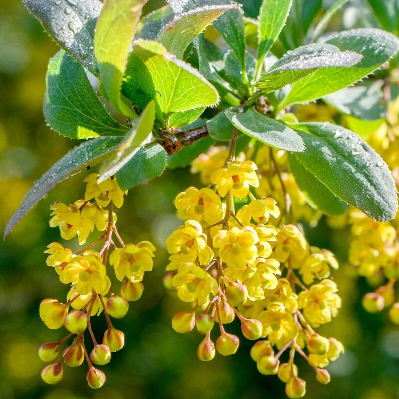 Barberry flowers are used in herbal medicine.
