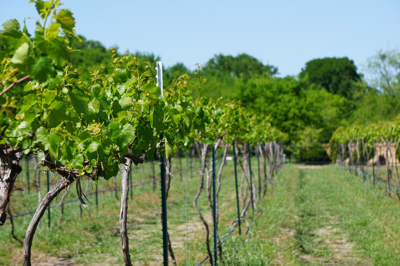 Vineyard Beginning