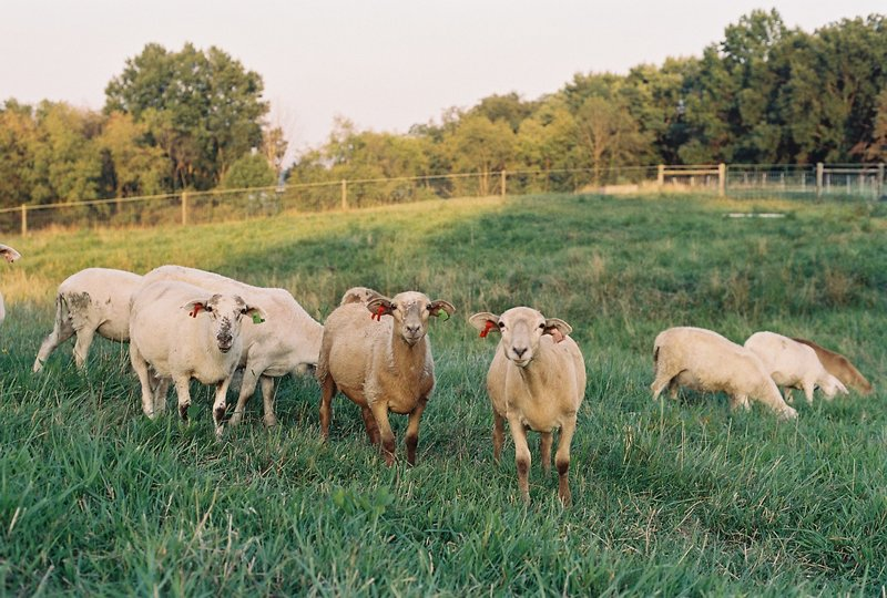 A group of katahdin ewe lambs