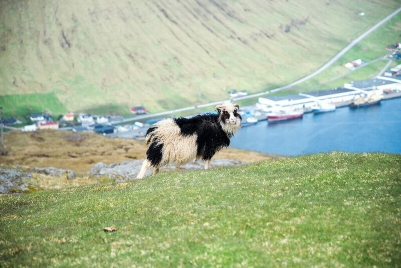 Black and white sheep in the Faroe Islands