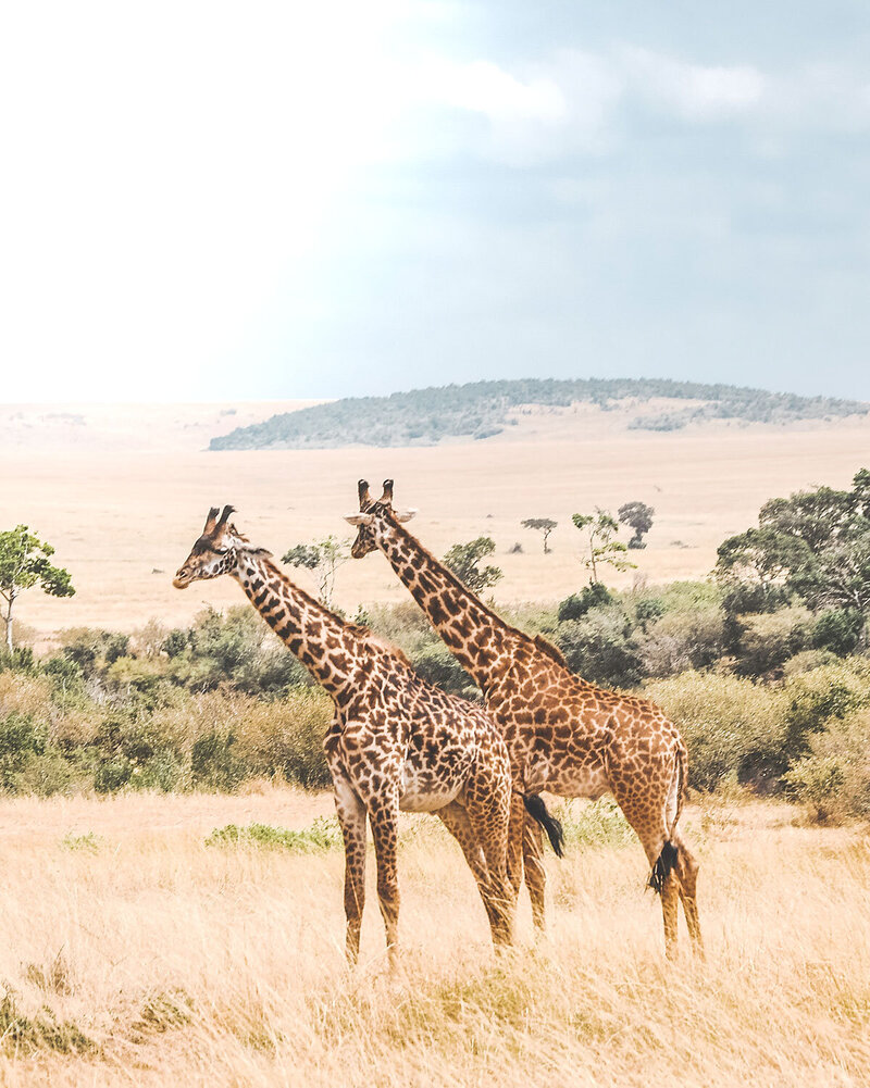 two giraffes on the African plane - KC Abroad