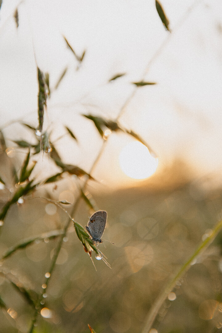 Butterfly sitting on dewey grass at sunrise