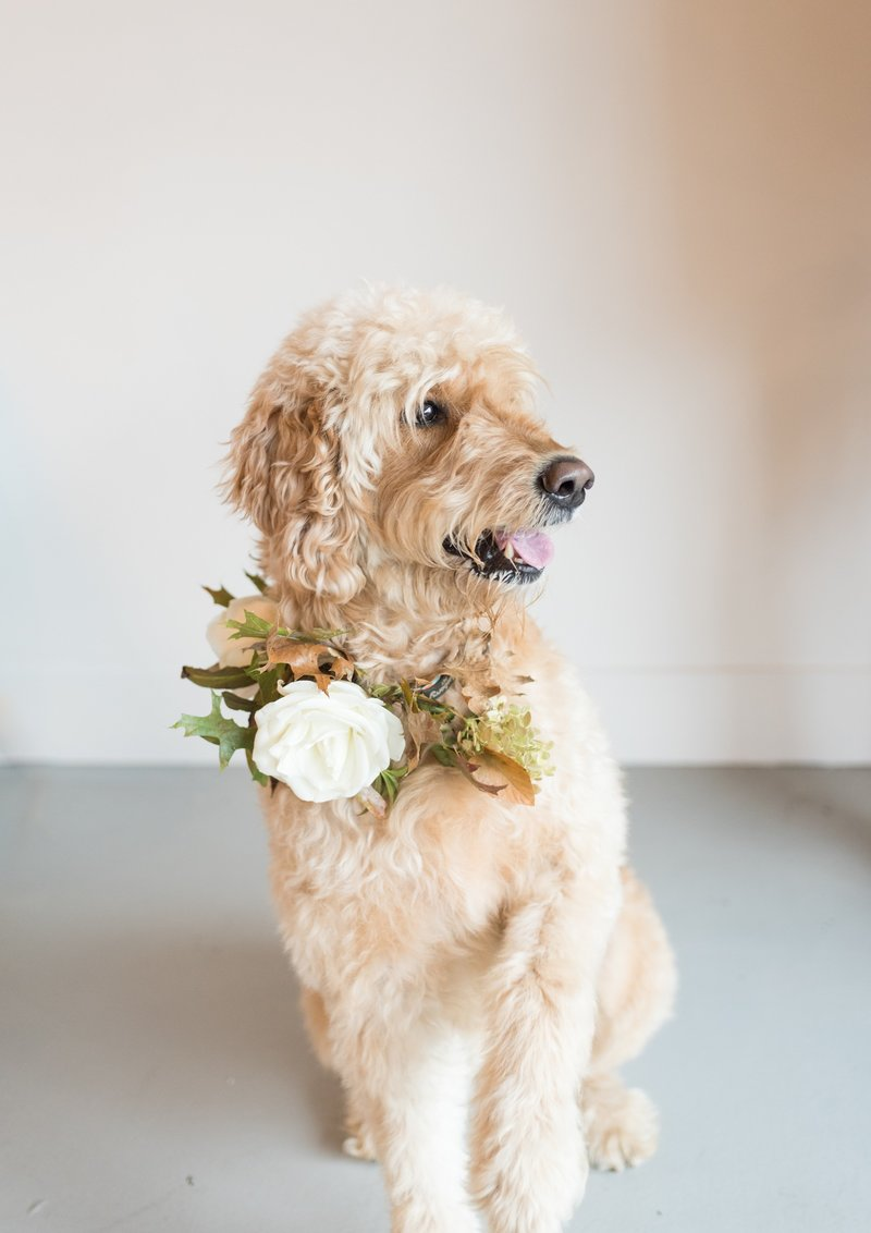 Wedding picture of dog with floral collar