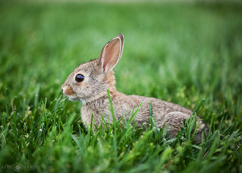 Wild rabbit in the grass at Chatfield Farms Wedding