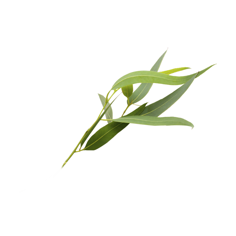 eucalyptus-transparent-background-6