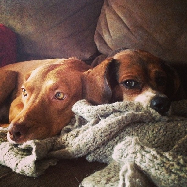 a beagle and pit mix laying together on a blanket