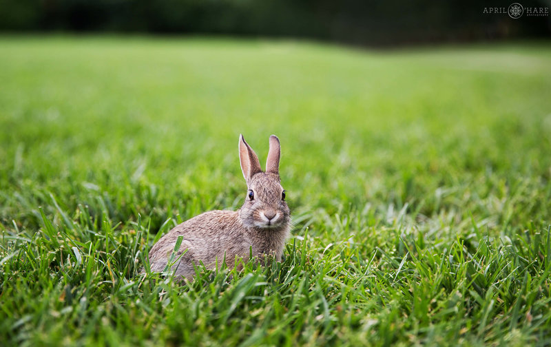 Bunny in the grass at Chatfield Farms Denver Botanic Gardens