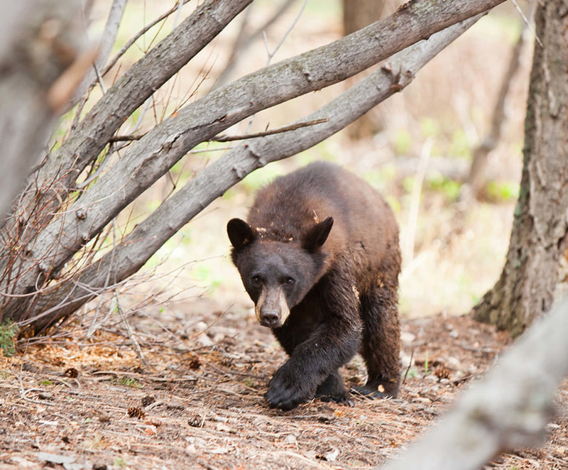 Wild Black Bear walks through the woods at Pines at Genesee