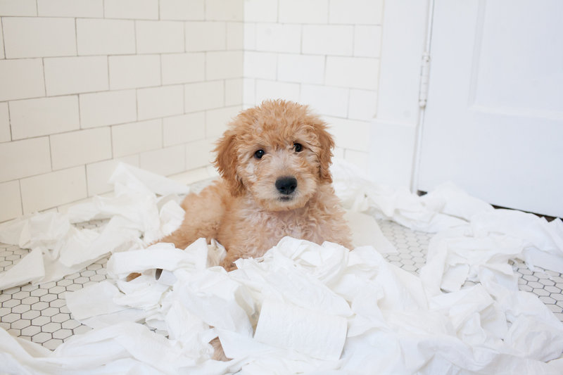 Golden doodle puppy, favorite things