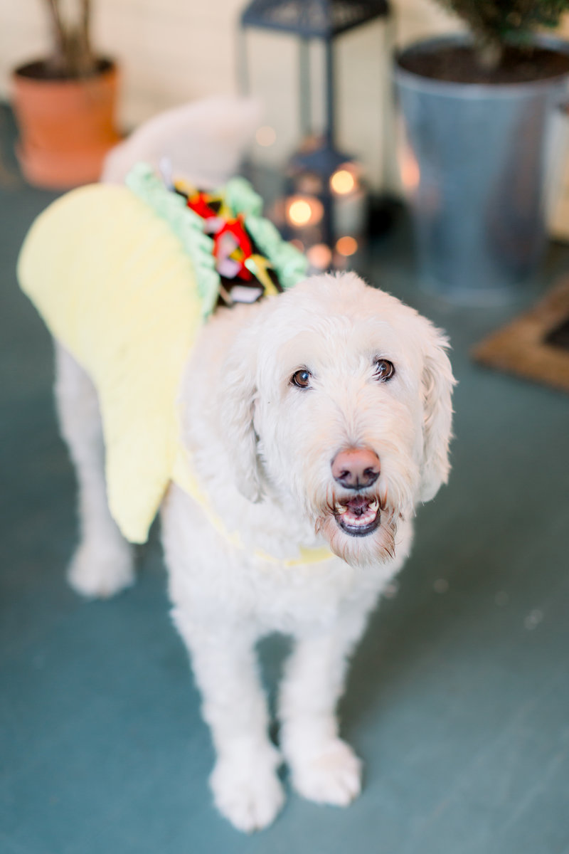 rescue goldendoodle in taco costume