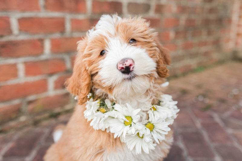 Mini Bernedoodle wearing a flower collar