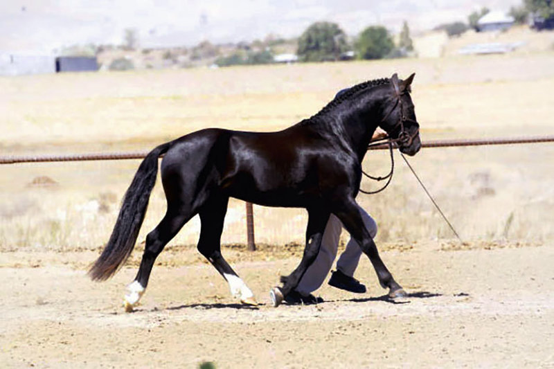 Connemara Pony Stallion, R Blue Moon, Trot Suspension