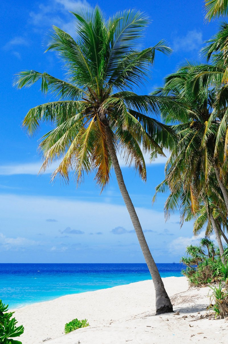 beach-coconut-trees-coconuts-daylight-240526