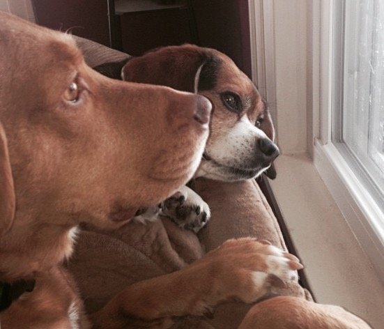 a beagle and pit lab mix look out he window of their home in Erie, PA