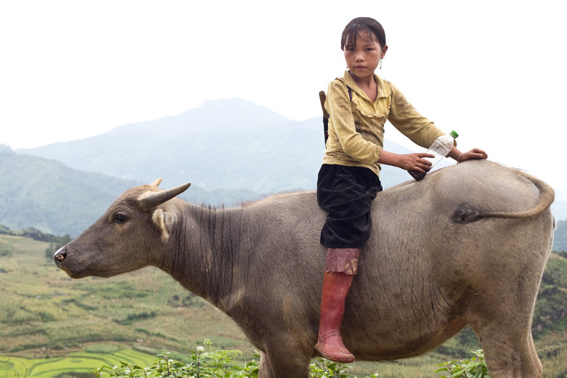 Young girl sits on cattle in the mountains of Sapa Vietnam