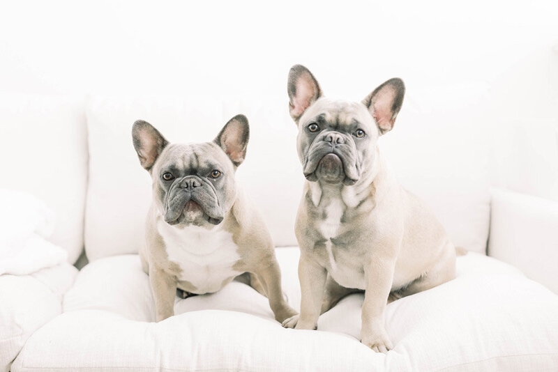 frenchbulldogs_Jommy