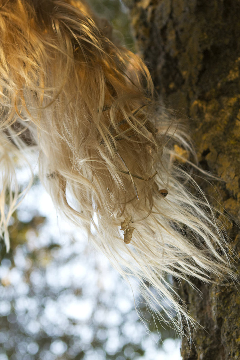 Detail of tangled blonde hair with oak leaves in it