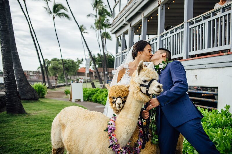 wedding couples kiss surrounded by alpacas
