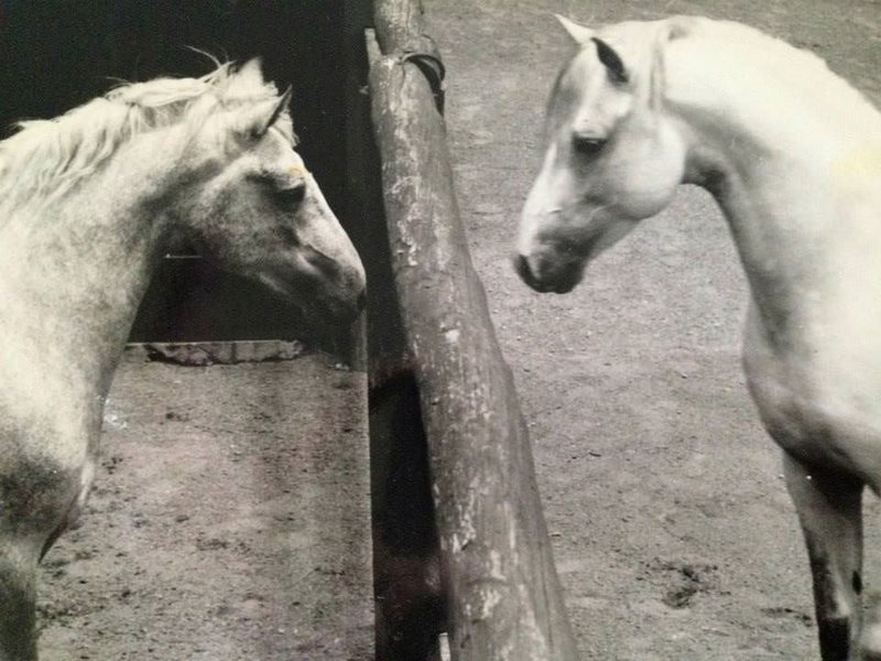 Grey Connemara Stallion Abbeyleix Finbar with Grey Connemara Stallion Domo Cavallo Praize, Australia