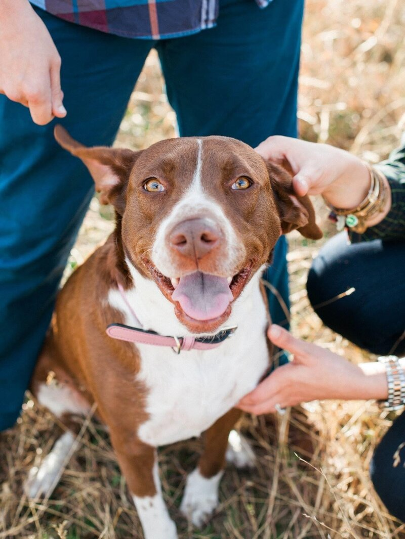 Pitbill dog smiling mouth open brown