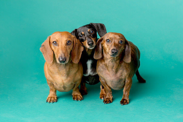 The dachshund pups on a teal background