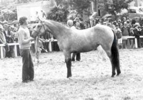 Dun Connemara Mare, 2yo Champion, Clifden