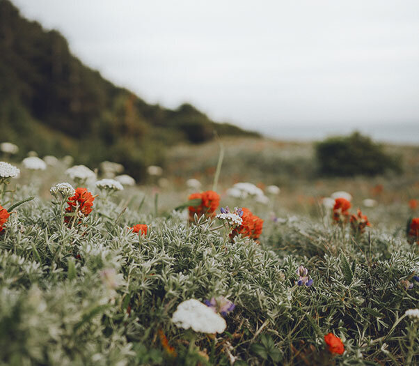 Field of flowers with white and orange. Vicarious traumatization in Santa Clarita, CA can be helped with online therapy in California from a skilled emdr therapist for trauma therapy and PTSD Treatment in the Los Angeles, CA area.