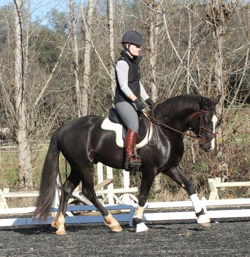 Black Connemara Pony Stallion, ridden Dressage