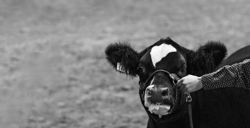fort-worth-black-baldy-steer-kasey-cody-2