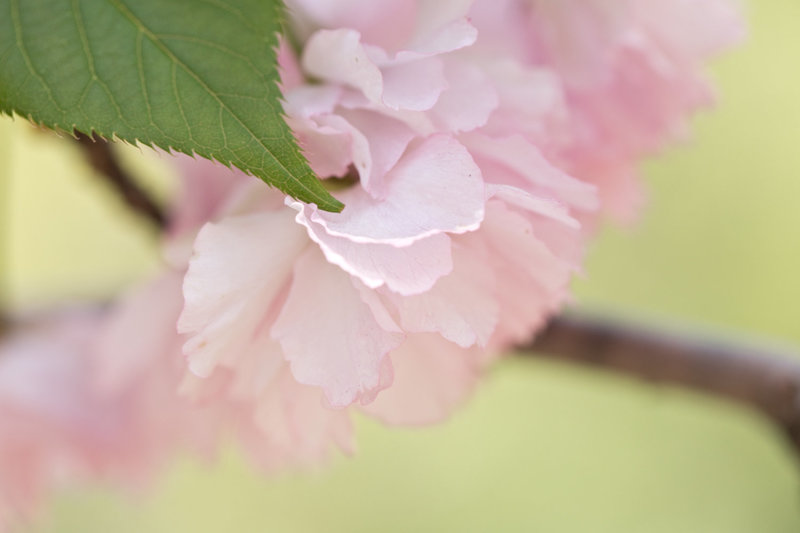 Macro photograph of pink cherry blossom in Central Park NYC