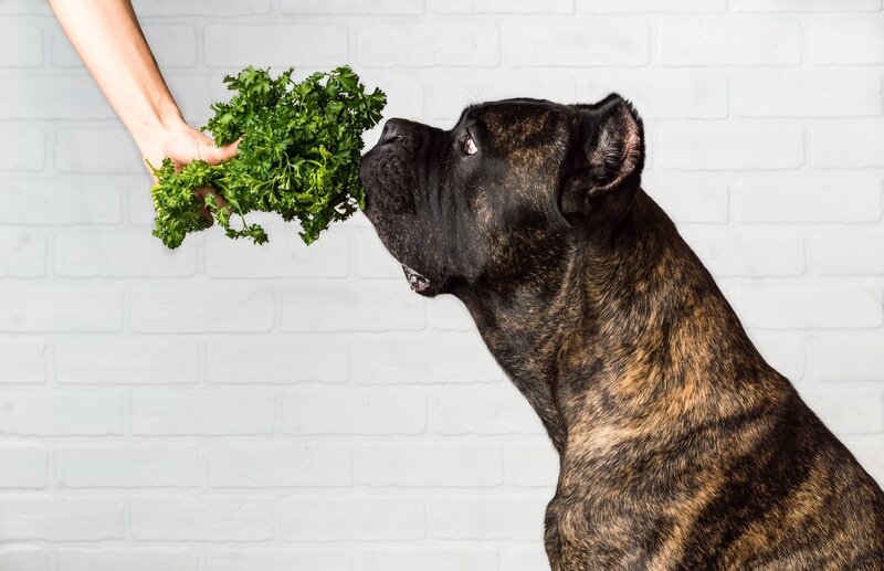 dog-eating-parsley-1