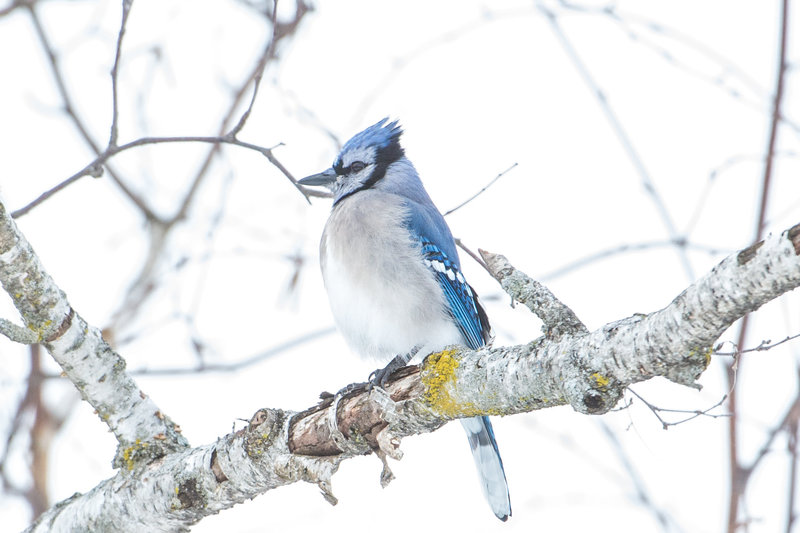 Blue Jay by Brittany Gawley-3