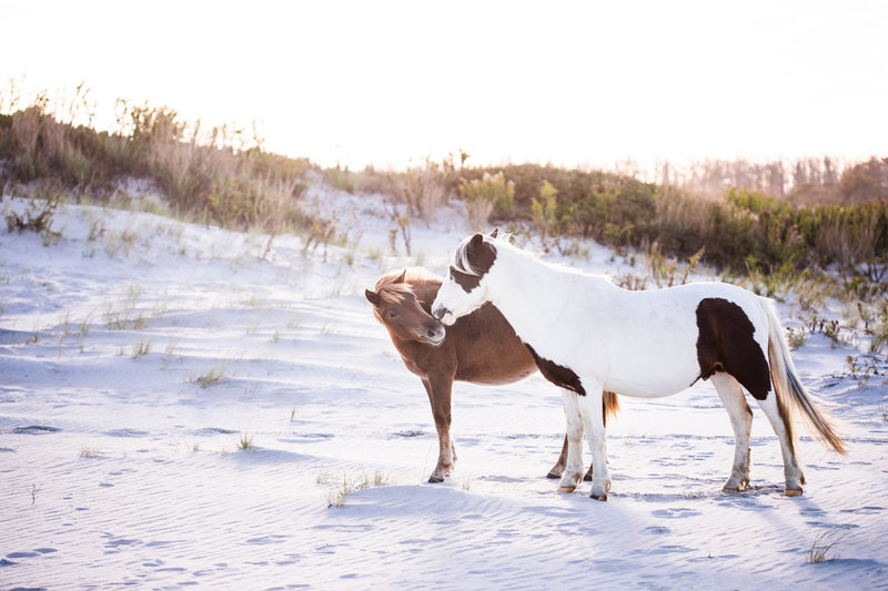 will ponies at Assateague National Park
