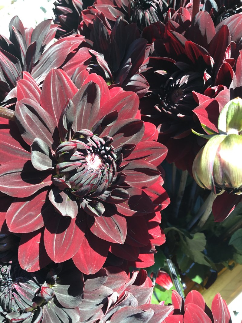 Karma Chocolate Dahlia