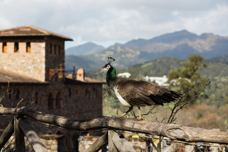 Peahen in the mountains at Calistoga's Castillo di Amorosa