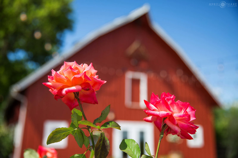 Roses grow in the garden next to red barn at Chatfield Farms