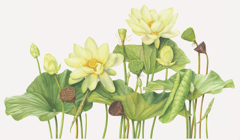 yellow lotus botanical drawing