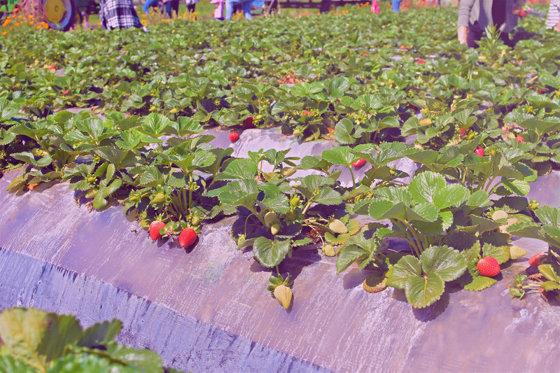 strawberry picking at underwood family farms6.ptsd