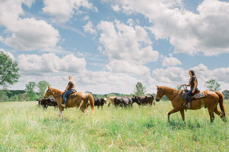 Open range horseback ride at luxury western ranch with cattle