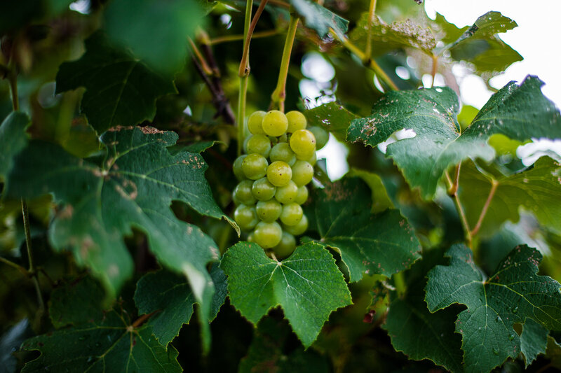Grapes in the vineyard at Quincy Cellars