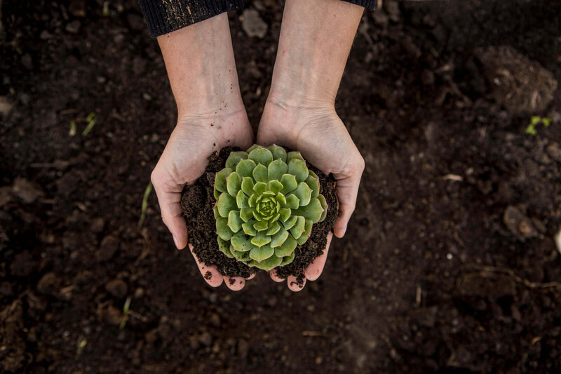 hands holding succulent in soil