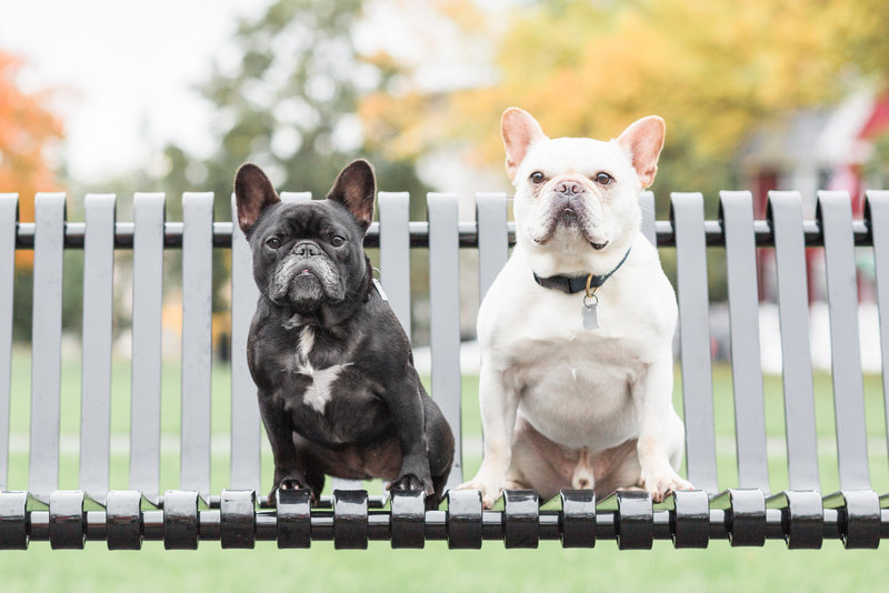 frenchie dogs sitting on Boston park bench