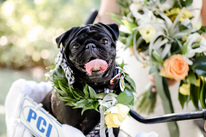 Pug_in_wedding_Furry_Ventures