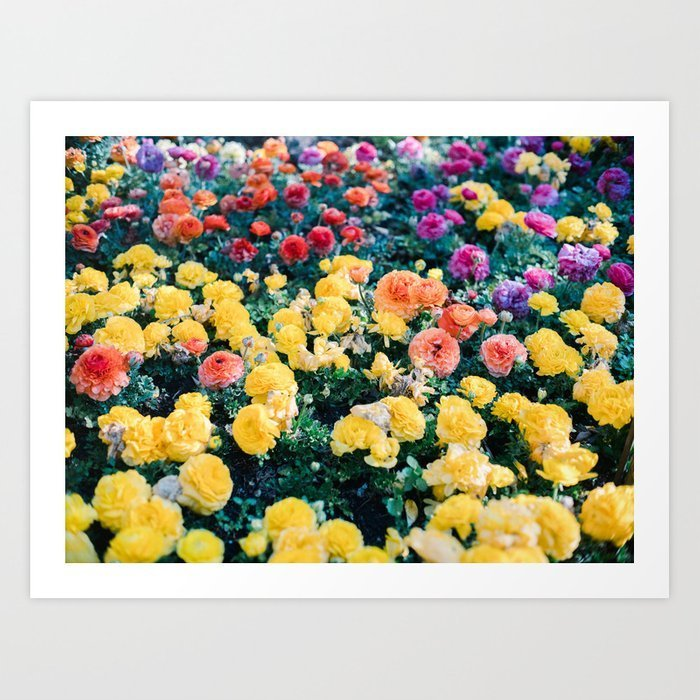 ranunculus-in-granada-colorful-floral-fine-art-photographer-botanical-photo-art-prints