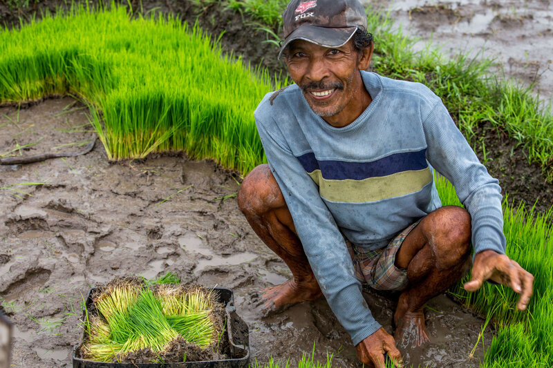 Balinese worker planting rice